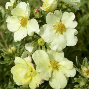 Potentilla fruticosa 'Cream'Issima' – Cserjés pimpó