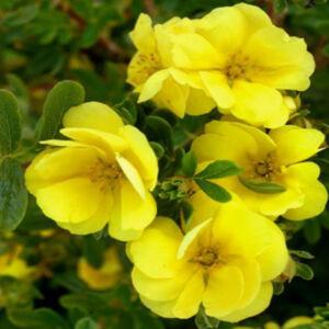 Potentilla fruticosa 'Double Punch Gold' – Cserjés pimpó
