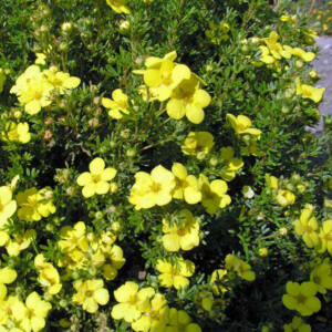 Potentilla fruticosa 'Goldkissen' – Cserjés pimpó