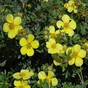 Potentilla fruticosa 'Goldstar' – Sárga virágú cserjés pimpó