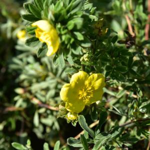 Potentilla fruticosa 'Goldteppich' – Sárga virágú cserjés pimpó