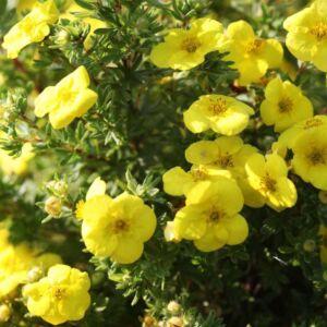 Potentilla fruticosa 'Kobold' – Sárga virágú, alacsony cserjés pimpó