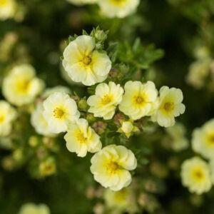 Potentilla fruticosa 'Lemon Meringue' – Cserjés pimpó