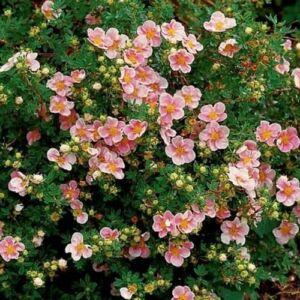 Potentilla fruticosa 'Lovely Pink'® – Rózsaszín virágú cserjés pimpó