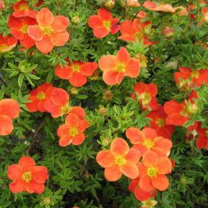 Potentilla fruticosa 'Marian Red Robin' – Narancsos-piros virágú cserjés pimpó