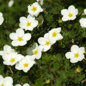 Potentilla fruticosa 'McKay's White' – Fehér virágú cserjés pimpó