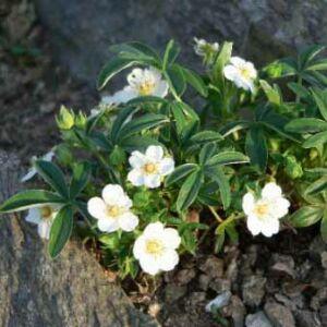 Potentilla fruticosa 'Nana Alba' – Fehér virágú cserjés pimpó