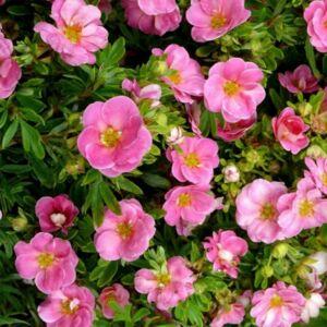Potentilla fruticosa 'Pink Paradise' – Féltelt, rózsaszín virágú cserjés pimpó