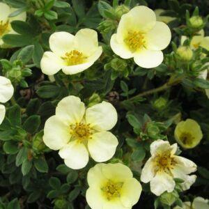 Potentilla fruticosa 'Primrose Beauty' – Világossárga virágú cserjés pimpó