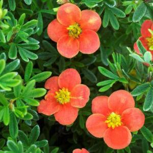 Potentilla fruticosa 'Red'Issima' – Cserjés pimpó