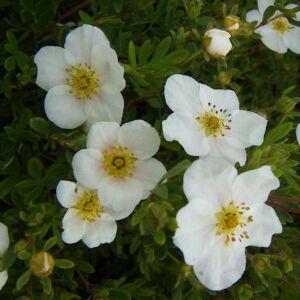 Potentilla fruticosa 'Snowbird' – Fehér virágú cserjés pimpó