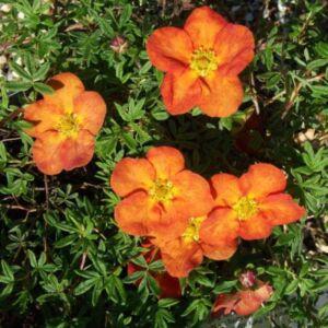 Potentilla fruticosa 'Tangerine' – Narancssárga virágú cserjés pimpó