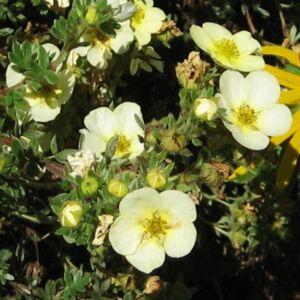 Potentilla fruticosa 'Tilford Cream' – Krémszínű virágú cserjés pimpó