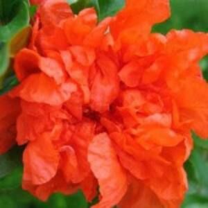 Punica granatum 'Maxi Rubra' - Teltvirágú gránátalma