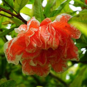 Punica granatum 'Plena' – Teltvirágú gránátalma (dísz)
