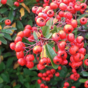 Pyracantha 'Red Cushion' – Tűztövis