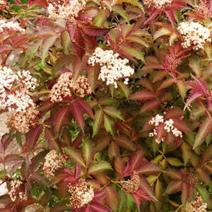 Sambucus nigra 'Serenade' - Lombszínváltó bodza