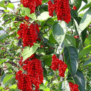 Schisandra chinensis - Kínai kúszómagnólia