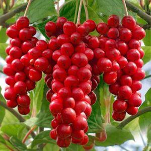 Schisandra chinensis 'Sadova' - Sadova kínai kúszómagnólia