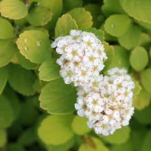 Spiraea betulifolia 'Tor Gold' – Nyírlevelű gyöngyvessző