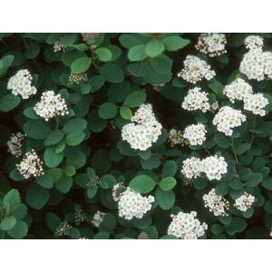 Spiraea betulifolia 'Tor' – Nyírlevelű gyöngyvessző