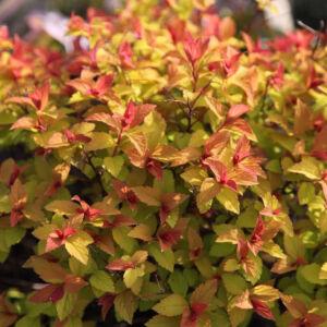 Spiraea japonica 'Firelight' – Japán gyöngyvessző