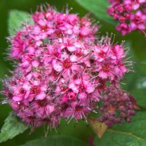 Spiraea japonica 'Galen' – Japán gyöngyvessző