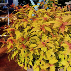 Spiraea japonica 'Little Flame' – Japán gyöngyvessző