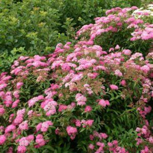 Spiraea japonica 'Little Princess' - Rózsaszín japán gyöngyvessző