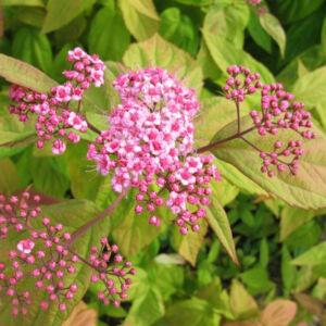 Spiraea japonica 'Macrophylla' – Japán gyöngyvessző
