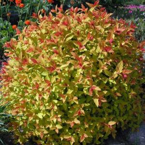 Spiraea japonica 'Magical Carpet' – Sárga lombú gyöngyvessző