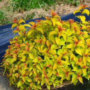 Spiraea japonica 'Merlo Gold' – Japán gyöngyvessző