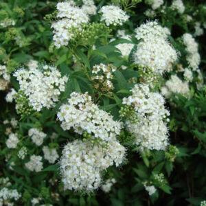 Spiraea japonica 'Pygmaea Alba' – Japán gyöngyvessző