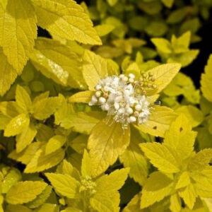 Spiraea japonica 'White Gold' – Japán gyöngyvessző