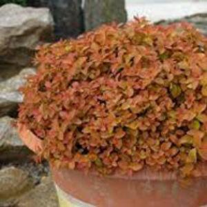 Spiraea japonica 'Zen's Spirit Caramel' – Japán gyöngyvessző