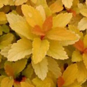 Spiraea japonica 'Zen's Spirit Gold' – Japán gyöngyvessző