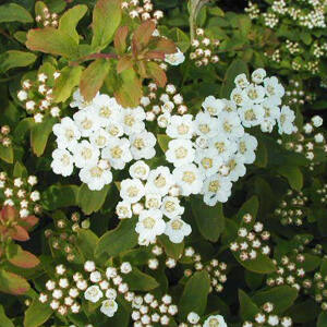 Spiraea nipponica 'Halward Silver' – Nipponi gyöngyvessző