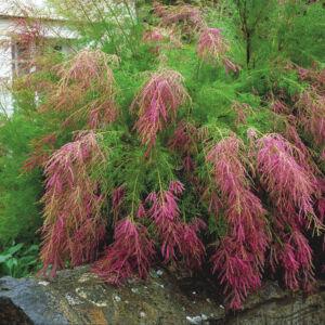 Tamarix ramosissima 'Pink Cascade' – Szürke tamariska