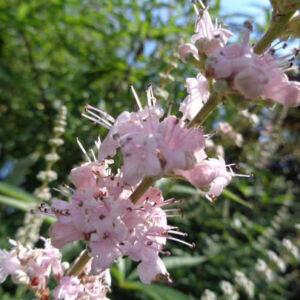 Vitex agnus-castus 'Santamaria' - Illatos, rózsaszín barátcserje