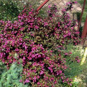 Weigela florida 'Atropurpurea Nana' – Rózsalonc