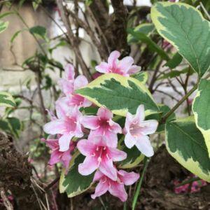 Weigela florida 'Kosteri Variegata' - Kosteri tarka levelű rózsalonc