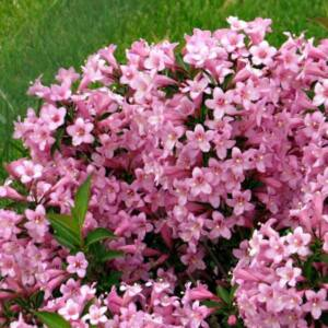 Weigela florida 'Piccolo' – Rózsalonc