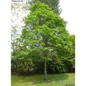 Acer campestre 'Elsrijk' - Tojásdad koronájú juharfa (extra méretű koros)