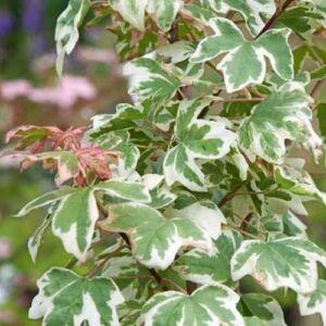 Acer campestre 'Magic Spring' – Mezei juhar