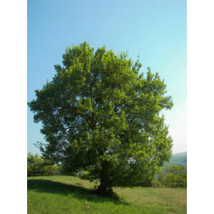Acer campestre - Mezei juhar (extra méretű koros)