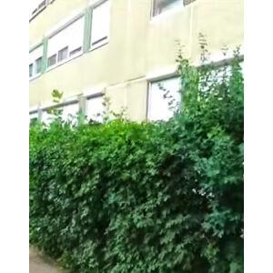 Acer campestre - Mezei juhar (sövénynek)
