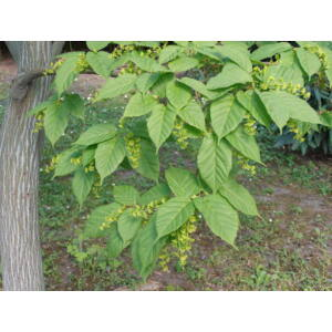 Acer davidii – Dávid juhar (extra méretű koros)