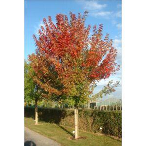 Acer freemanii 'Autumn Blaze' ('Jeffersred') - Őszi tűzjuhar (extra méretű koros)