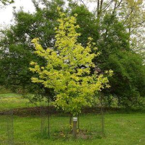 Acer negundo 'Kelly's Gold' - Aranysárga levelű zöld juhar