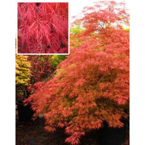 Acer palmatum 'Baldsmith' – Csüngő japán juhar